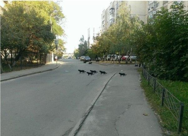 """Смешное фото """"Черные кошки переходят дорогу"""""""