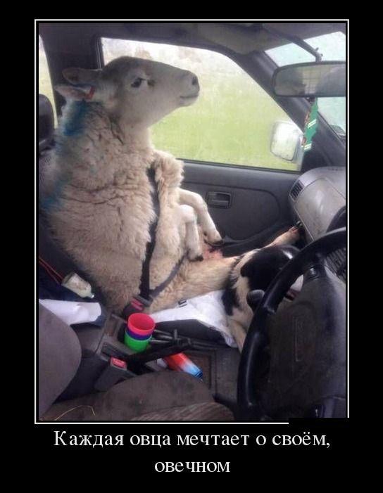 Демотиватор Каждая овца мечтает о своем