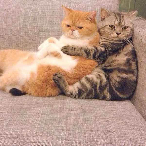 Коты обнимаются