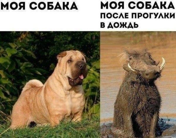 Смешное фото Собака до и после прогулки