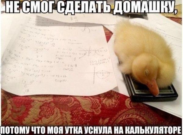 Смешное фото Утка уснула на калькуляторе
