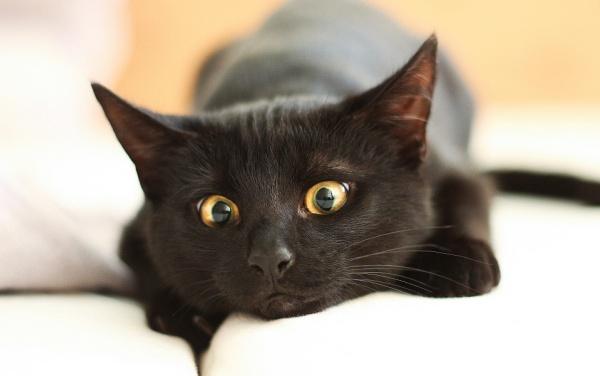 черный кот Гошан