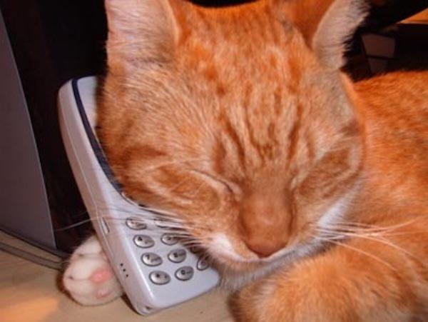 Картинки с надписью кот говорит по телефону, поздравляю