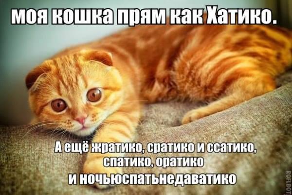 """Смешное фото """"Кошка Хатико"""""""