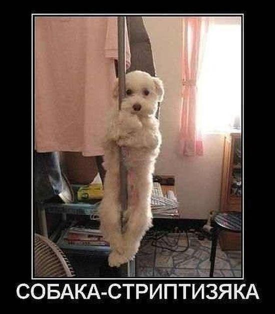 Демотиватор Собака - стриптизяка