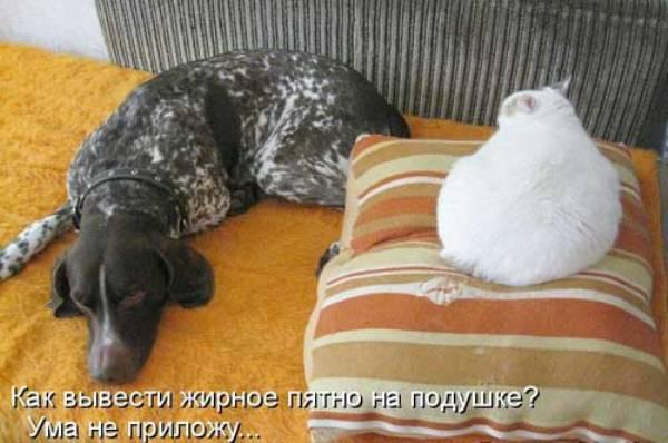 Смешное фото Жирный кот на подушке